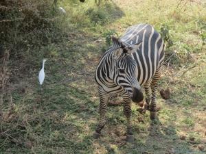 Zebra & Friends